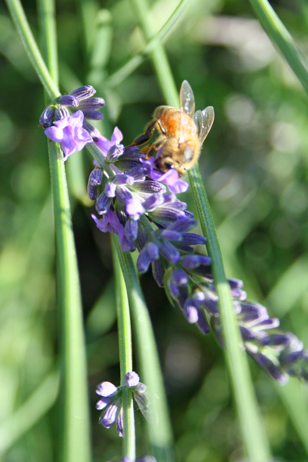 Bee_lav