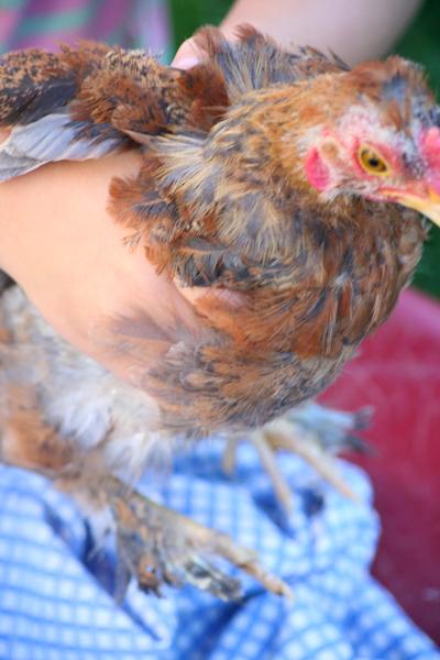 Chickens_ava