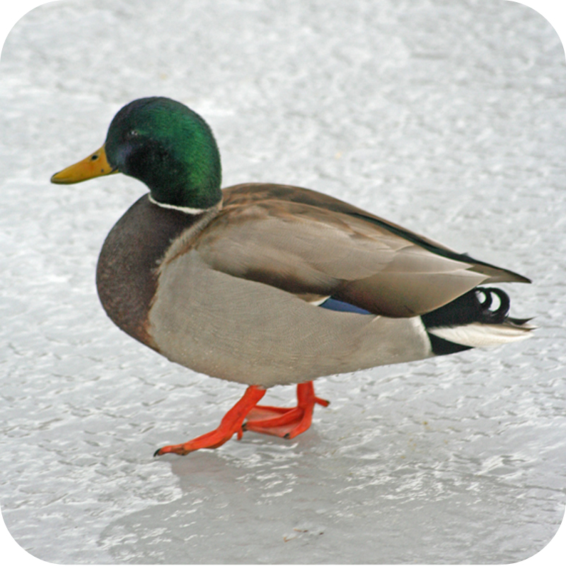 Bend_duck_blog_square